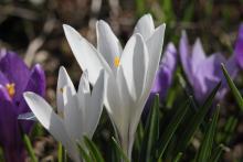 W ogrodzie na razie kwitną jedynie wczesne, wiosenne kwiaty.