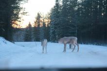 A w drodze do domu spotkaliśmy renifery!
