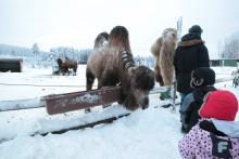 Wielbłądy nic sobie nie robiły ze śniegu, wręcz przeciwnie!
